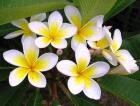 Cảnh báo nguy cơ ngộ độc từ cây hoa đại